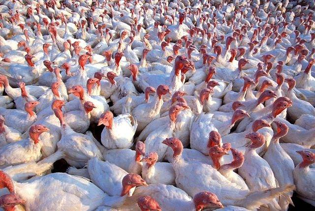 turkeys-139713_640